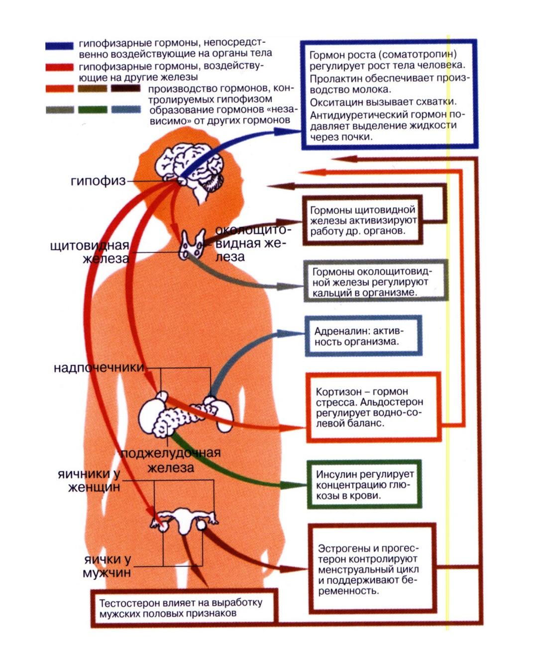 gormoni i emocii jeloveka